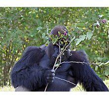 Shy Gorilla Photographic Print