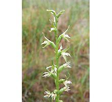 Green Leek orchid (Prasophyllum lindleyanum) Photographic Print