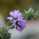 Field Wild Mint (Mentha Arvensis by SKNickel