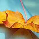 Maple Reflection by ReveLinWonder