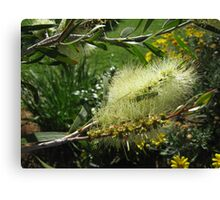 White Bottle Brush Canvas Print