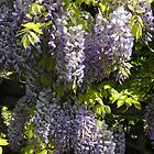Wisteria Sinensis in springtime Italy by Philip Mitchell