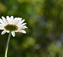 daisy  by marxbrothers