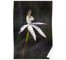 Musky Caladenia - Stegostyla gracilis  Poster