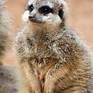 Meerkat by Jack  Preston