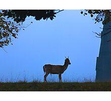 Fallow Deer #1 Photographic Print