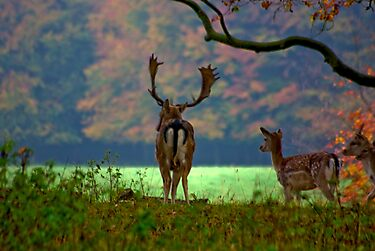 Fallow Deer on Watch by Trevor Kersley