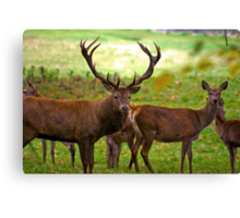 Stag & Does   (Red Deer) Canvas Print