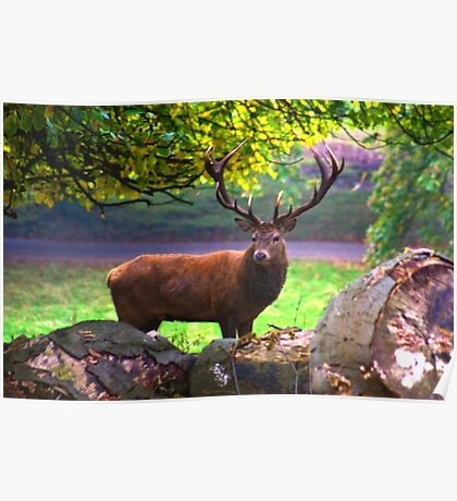 Stag #1   (Red Deer) Poster