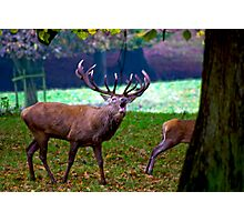 Stag #2   (Red Deer) Photographic Print
