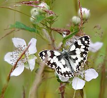Marbled White by Tony4562