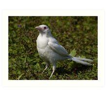 juvenile albino magpie Art Print