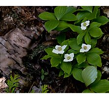 Birch and Dogwood - Lake Superior Provincial Park Photographic Print