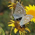 Common blue [Polyommatus icarus] by Tony4562