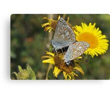 Common blue [Polyommatus icarus] Canvas Print
