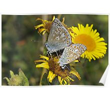 Common blue [Polyommatus icarus] Poster