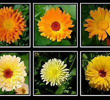 Marigold Collage by taiche