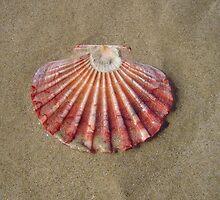 Shell - Ocean Shores, Australia by Alejandra Sarrablo