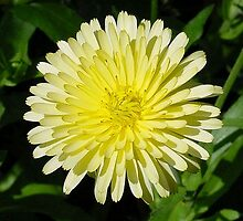 Pale Yellow Mary Bud Marigold With Garden Background by taiche