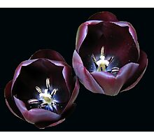 Dark and Mysterious - Burgandy Tulips Photographic Print