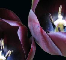 Dark and Mysterious - Burgandy Tulips Sticker