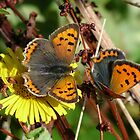 Small Copper (Lycaena phlaeas) by Tony4562
