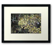 Golden Wattle Framed Print