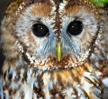 The wonderful eyes of a Tawny Owl by Dave  Knowles