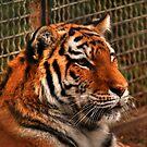 Siberian Tiger by Larry Trupp