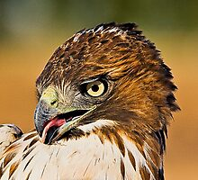 Newly Captured Red Tail by Marvin Collins