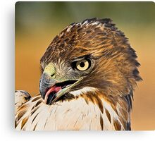 Newly Captured Red Tail Metal Print