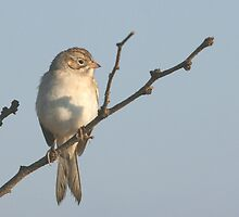 Brewer's Sparrow, fall by tonybat