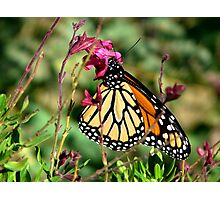 Sipping Salvia Photographic Print