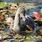 Cygnet in the lillies by lulisa