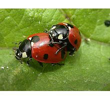 A Pair of Seven-spot Ladybirds (Coccinella septempunctata) in Cop Photographic Print