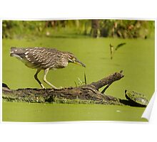 A Juvenile Black-crowned Night Heron with Damselfly Poster