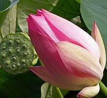 Lotus and seed pod. by Gabrielle  Hope