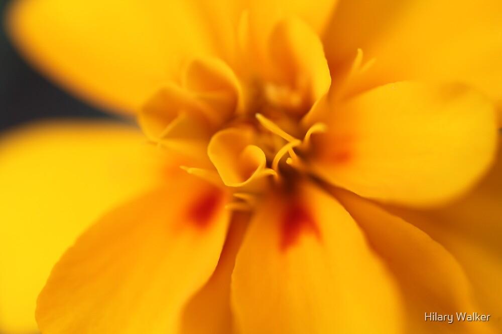Marigold by Hilary Walker