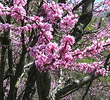 Red buds in bloom by robinhensley