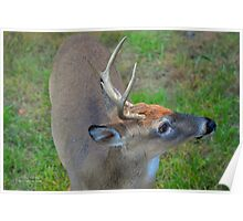 Odocoileus Virginianus - White-Tailed Deer Male Stag | Fire Island, New York Poster