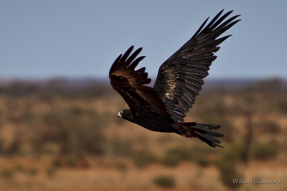Wedge-Tailed Eagle by William Bullimore