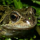 Common Frog (Rana temporaria) - Head View by SteveMcBill
