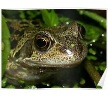 Common Frog (Rana temporaria) - Head View Poster