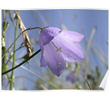 Harebell (Campanula rotundifolia) Poster
