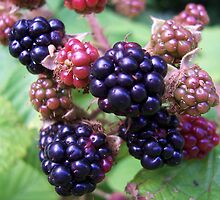 Ripe Blackberries by susanmcm