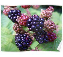 Ripe Blackberries Poster