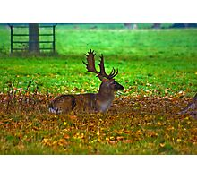 Fallow Stag Resting Photographic Print