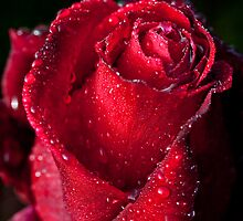 Red Rose by Yolanda Frost