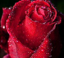 Red Rose by Yolanda Frost