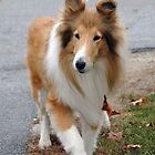 Collie New Hampshire by brooke1429